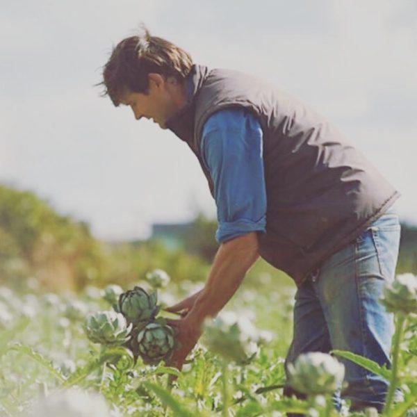 Récolte des artichauts sur l'exploitation