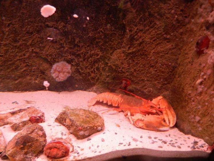 Un homard orange bien vivant