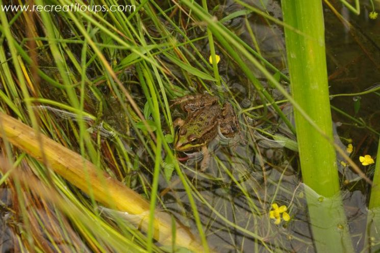 A la recherche d'amphibiens