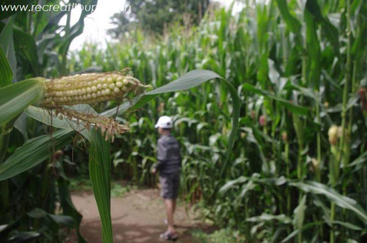 Le Labyrinthe de maïs à Pont-Aven