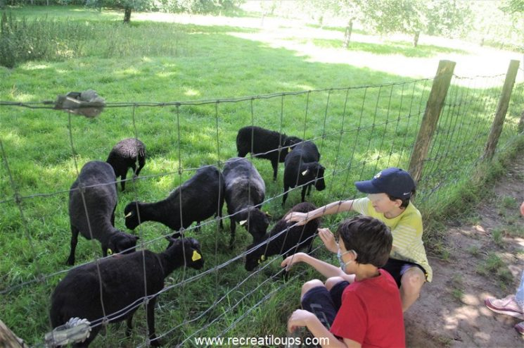 Petite visite aux moutons d'Ouessant