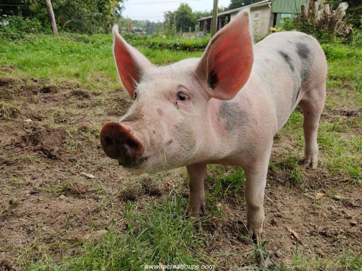 Le jeune cochon de la ferme